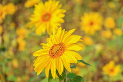 Beautiful yellow flower of a sunflower bloomed in a field royalty free stock images