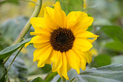 Beautiful yellow flower of a sunflower bloomed in a field royalty free stock photo