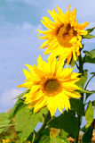 Beautiful yellow flower of a sunflower bloomed in a field stock images