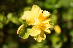 Beautiful yellow flower and sunshine Royalty Free Stock Photos