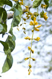 Beautiful yellow flower of thailand Royalty Free Stock Images