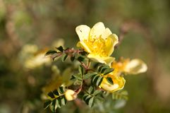 Beautiful yellow flower in the wild in spring Royalty Free Stock Image