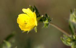 Beautiful yellow flower in the wild in spring Stock Photography