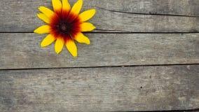 Rudbeckia hirta. Gazania. Isolated Black-eyed Susan. Beautiful Yellow Flower on Wooden Background. Rudbeckia hirta. Gazania. Gloriosa Daisy. Isolated Black-eyed stock images