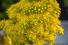 Beautiful Yellow Flowering Aeonium simsii flower plant.  Stock Photo
