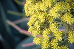 Beautiful Yellow Flowering Aeonium simsii flower plant.  Royalty Free Stock Photo