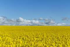 Beautiful yellow flowering field in Normandy, France. Country agricultural landscape on a sunny spring day. Beautiful yellow flowering field in Royalty Free Stock Photo