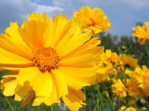 Beautiful yellow flowers Royalty Free Stock Photography