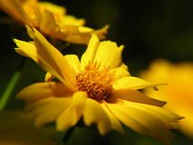 Beautiful yellow flowers Royalty Free Stock Photos