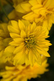 Beautiful yellow flowers Stock Images
