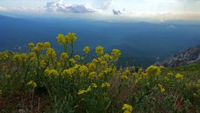 Beautiful yellow flowers against the backdrop of a mountain landscape. Beautiful yellow flowers against the backdrop of a mountain landscape and the sky with stock footage