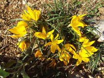 Beautiful yellow flowers of autumn. Autumn in GREEK countryside grows among rocks beautiful yellow flowers Stock Photos