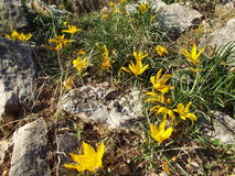 Beautiful yellow flowers of autumn. Autumn in GREEK countryside grows among rocks beautiful yellow flowers Stock Photo