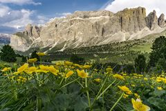 Beautiful yellow flowers on the background of the Dolomites. Ita. Ly Stock Photos