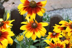 Beautiful yellow flowers. In the garden Stock Images