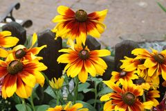 Beautiful yellow flowers. In the garden Stock Photography
