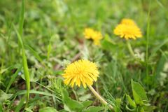 Beautiful yellow flowers. On spring day Stock Photo