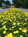 Beautiful yellow flowers. In Belgrade park Stock Photography