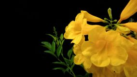 Beautiful of yellow flowers. Beautiful yellow flowers in the black background Royalty Free Stock Image