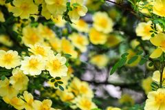 Beautiful yellow flowers bloomed on the branches of the bush in spring. Blooming tree in summer royalty free stock photo