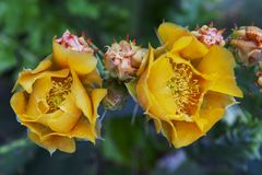 Beautiful yellow flowers of blooming cactus Royalty Free Stock Image