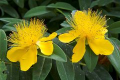 Beautiful yellow flowers blooming Hypericum Royalty Free Stock Image