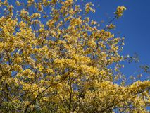 Beautiful yellow flowers blossom of Tabebuia. At Los Angeles Royalty Free Stock Photo