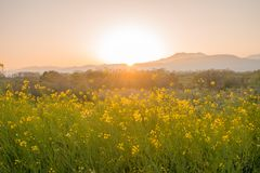 Beautiful Yellow flowers blossoming in sun rise ,Nanohana flowers. Beautiful Yellow flowers blossoming in sun rise, Nanohana flowers in Japan royalty free stock image