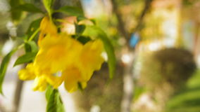 Beautiful yellow flowers bougainvillea in a tropical garden.  stock video footage