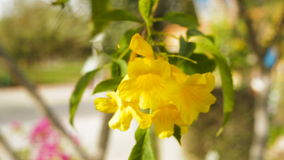 Beautiful yellow flowers bougainvillea in a tropical garden.  stock video