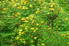 Beautiful yellow flowers on bushes in the park Baden - Baden. Royalty Free Stock Image