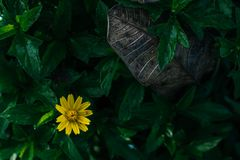 Beautiful yellow flowers. With dry leaf on green leaves background, vintage tone Royalty Free Stock Photo