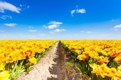 Beautiful yellow flowers field with sky horizon. Beautiful yellow flowers field rows with sky horizon during sunny day in summer time in Netherlands, Europe Royalty Free Stock Images