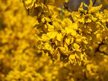 Blossoming forsythia in the garden. stock image