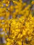 Blossoming forsythia in the garden. royalty free stock photo