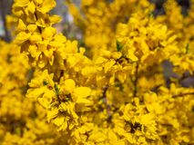 Blossoming forsythia in the garden. royalty free stock images
