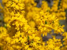 Blossoming forsythia in the garden. royalty free stock photos
