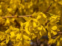 Blossoming forsythia in the garden. stock images