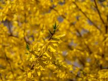 Blossoming forsythia in the garden. stock photography