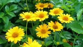 Beautiful yellow flowers. Garden of yellow flowers on a green background stock footage
