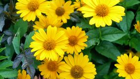Beautiful yellow flowers. Garden of yellow flowers on a green background stock video footage