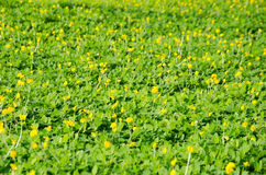 Beautiful yellow flowers on the garden on sunny day. Yellow Arachis pintoi flower or Pinto peanut Royalty Free Stock Photo