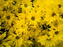 Beautiful yellow Flowers at the graden.  stock images