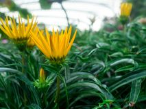 Beautiful yellow Flowers at the graden.  royalty free stock image