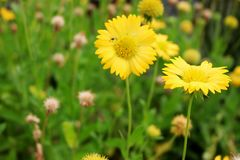 Beautiful Yellow Flowers on green leaf background in garden. From Bangkok Thailand Royalty Free Stock Images