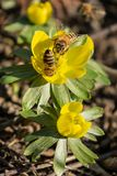 Beatiful flower with hard working bees. Beautiful yellow flowers with hard working bees to collect the pollen royalty free stock images