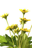 Beautiful yellow flowers isolated Royalty Free Stock Photos