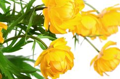 Beautiful yellow flowers isolated on white Stock Images