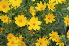 Beautiful yellow flowers with jagged petals blossomed in the spring. stock image