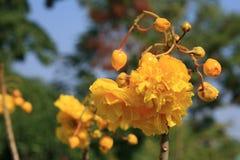 Beautiful yellow flowers of Kanekra tree. Nature background: beautiful yellow flowers of Kanekra tree Stock Image